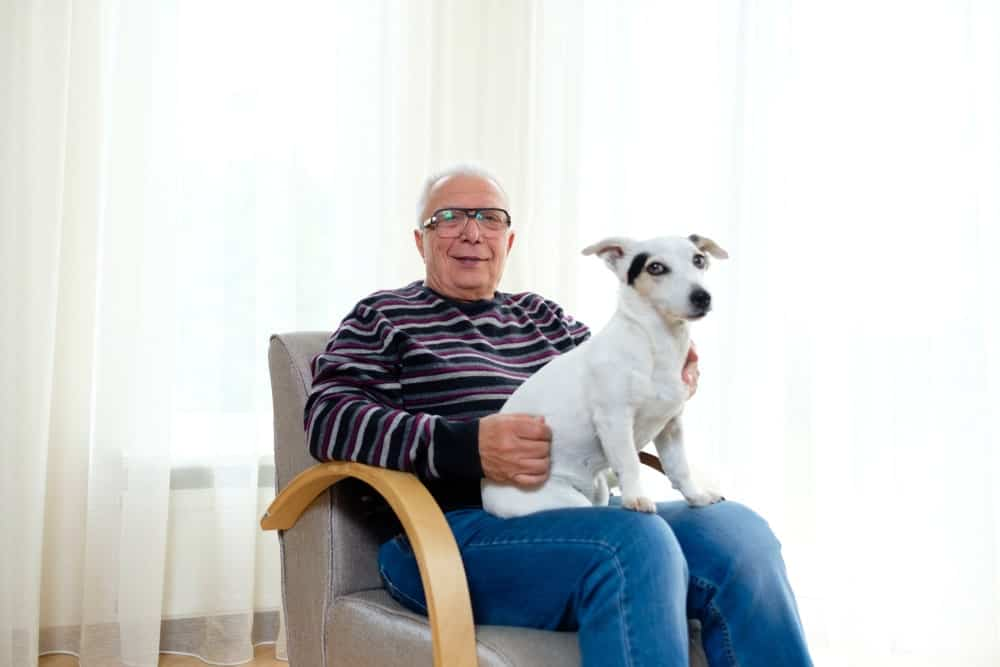 Grandpa in a striped sweater with Jack Russell Terrier dog on his lap sitting on a leather chair.