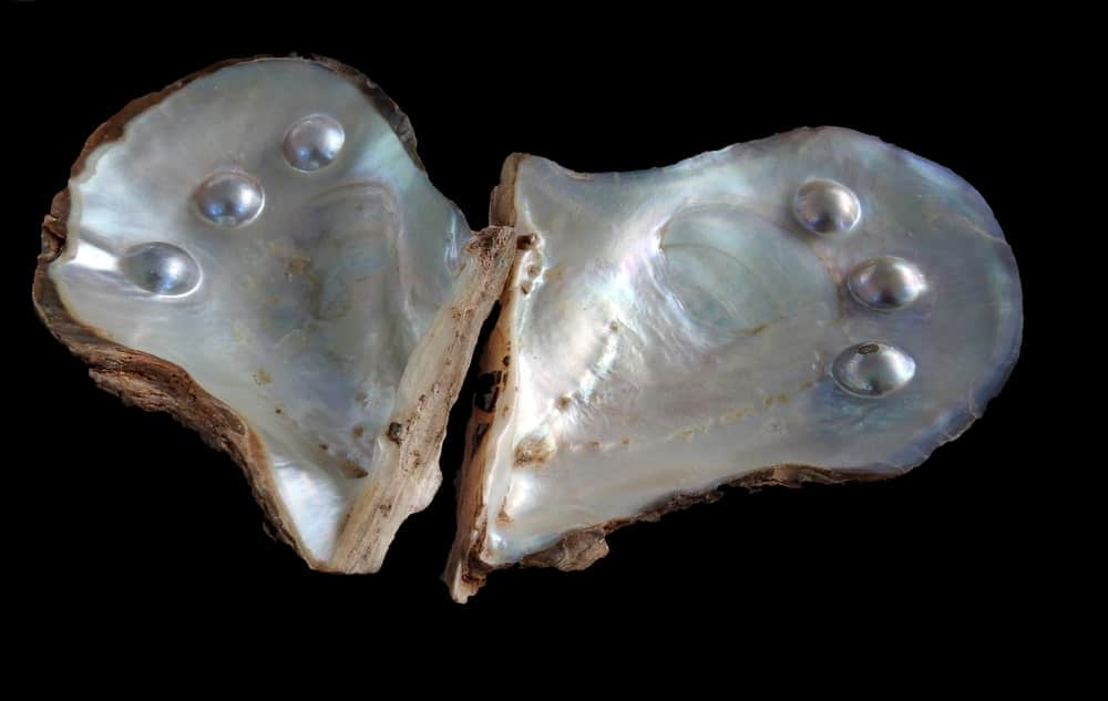 Blister pearls in a shell.