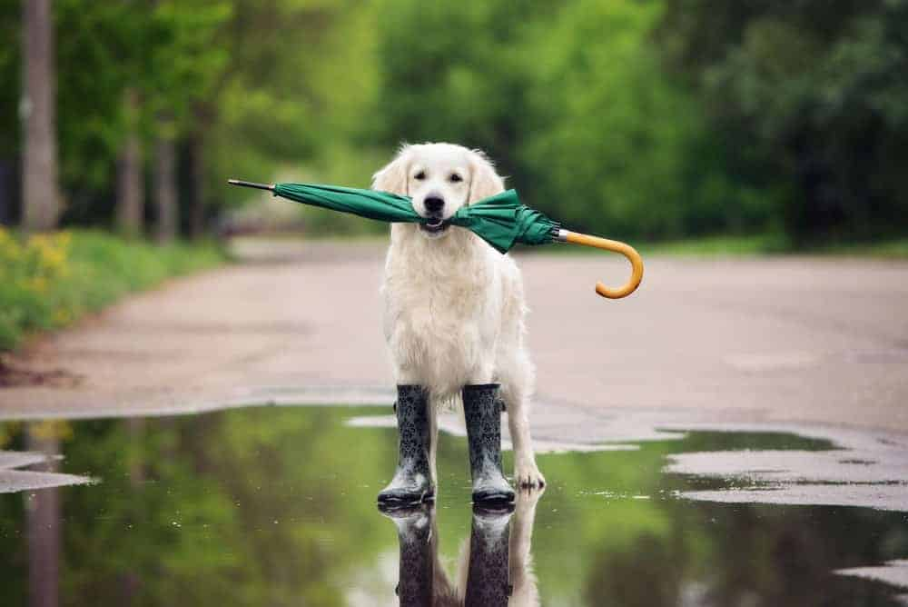A dog holding an umbrella and wearing a pair of rain boots.