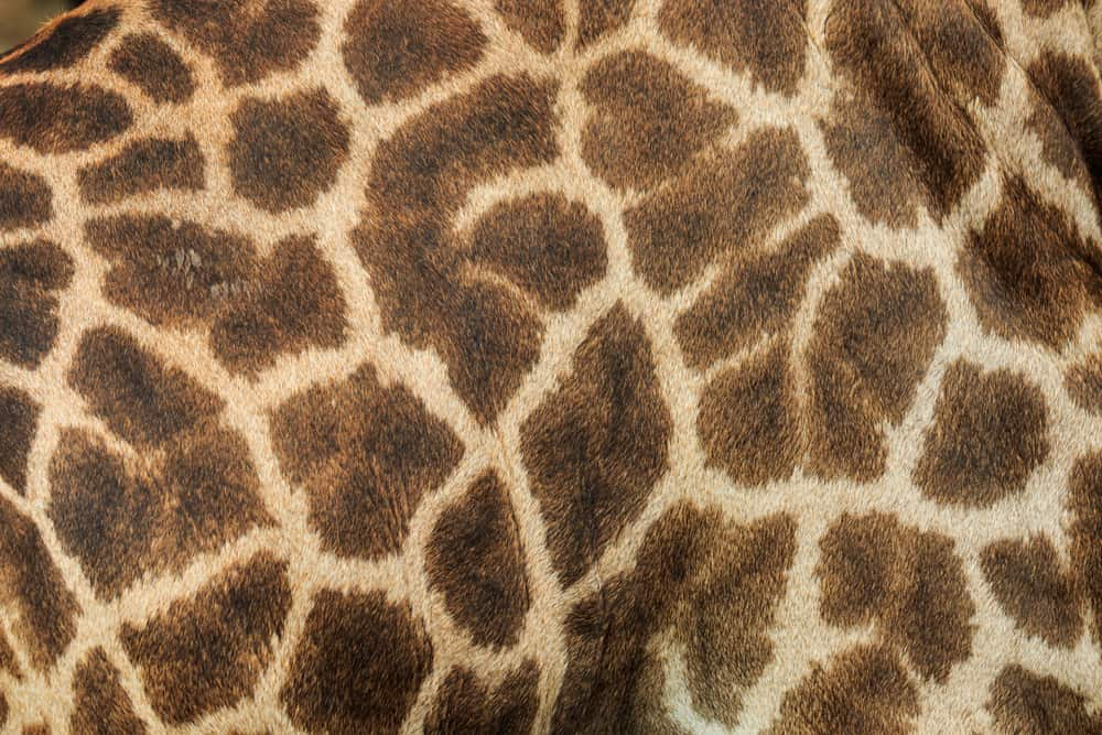 This is a close look at a patterned Giraffe Leather.