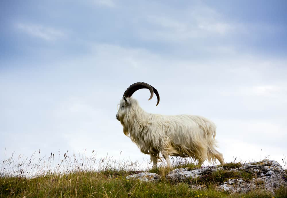 A white furry cashmere goat on a hilltop.