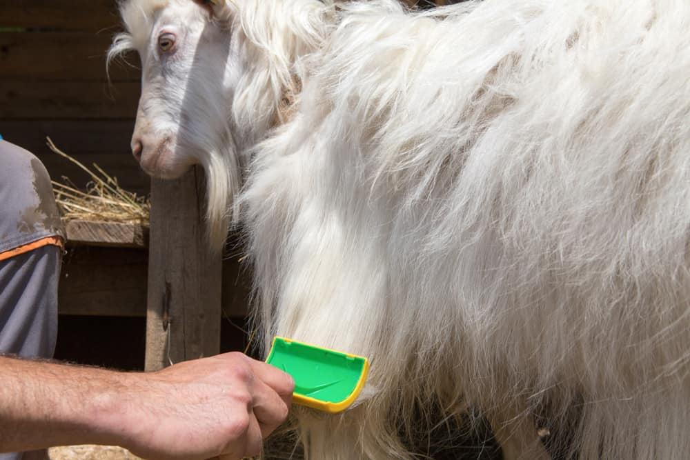 A cashmere goat being brushed for cashemere threads.