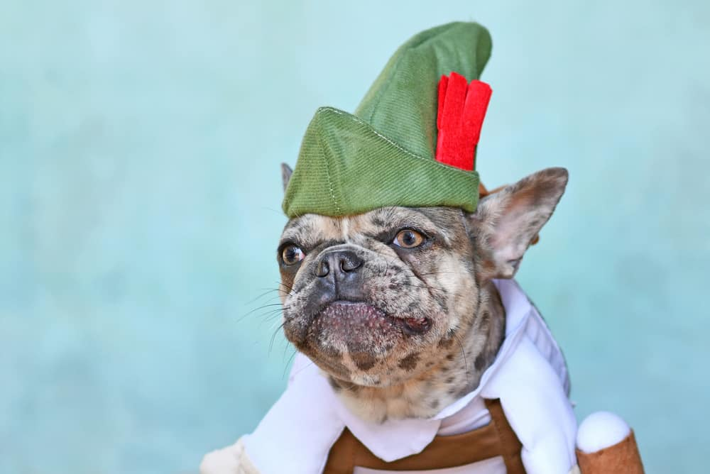 This is a close look at a French bulldog wearing an Oktoberfest costume topped with a Tyrolean hat.