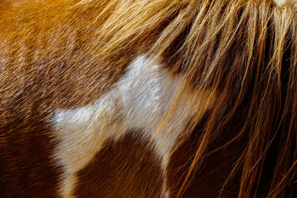 This is a close look at the fur of a brown and white horse.